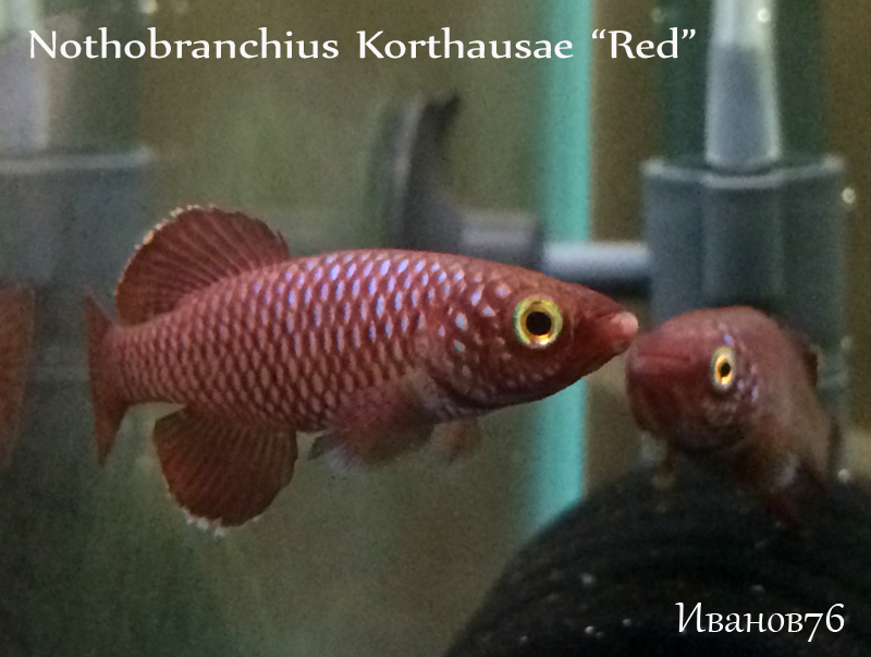 Nothobranchius Korthausae Red.jpg