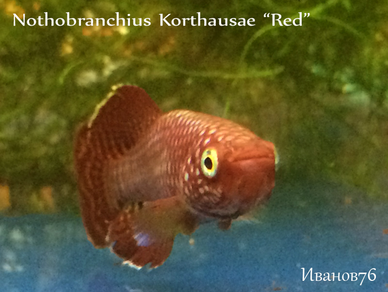 Nothobranchius Korthausae Red2.jpg